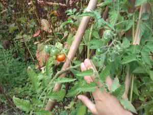 tomaat_01
